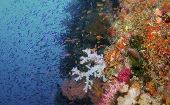 Coral Wall in Fiji