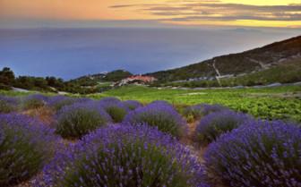 Lavender fields in Croatia
