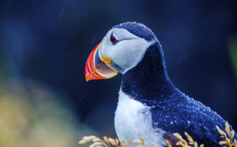 Beautiful puffin close up