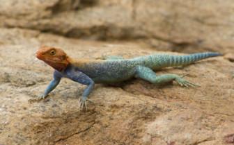 Red headed lizard