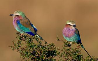Birds in Kenya