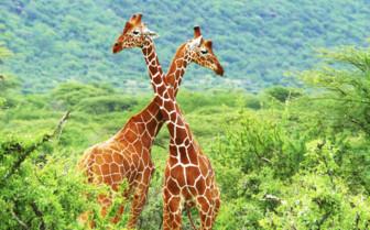 Male giraffe fight