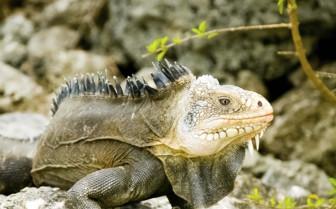 Lesser antillean iguana