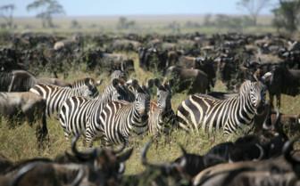Tanzania Zebrra