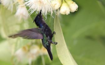 Antillean Crested Hummingbird in Grenada