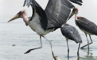 Marabou Stork in Ethiopia