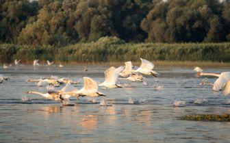 Danube Detla Swans, Transylvania