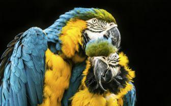 Parrots in Brazil