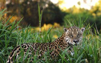 Cheetah in the Grass, Brazil