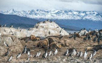 King penguin Colony, Antarctica