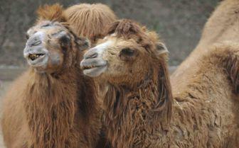 Two Camels, Uzbekistan