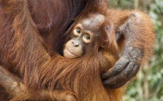 Orangutan in Sumatra