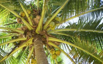Coconut Palms, Mozambique