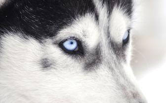 Husky in Lapland