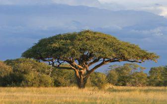 Tree in Zimbabwe
