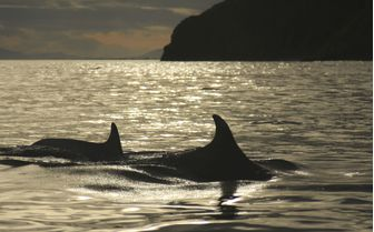 A picture of two bottlenose dolphins