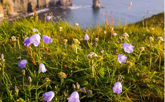 Lilac flowers on the clifftops of Moher