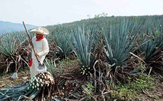 Jalisco tequila agave farming