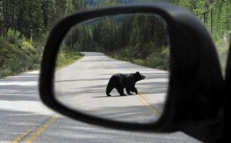 Bear in wing mirror