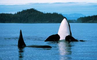 Orca in Canada