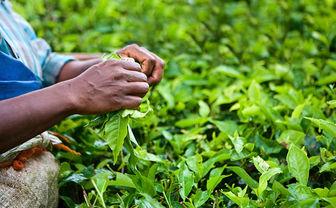 Tea picking in India