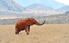 Kenyan elephant