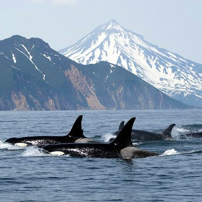 Killer Whales, Vancouver Island