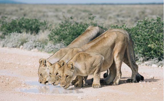 lioness etosha