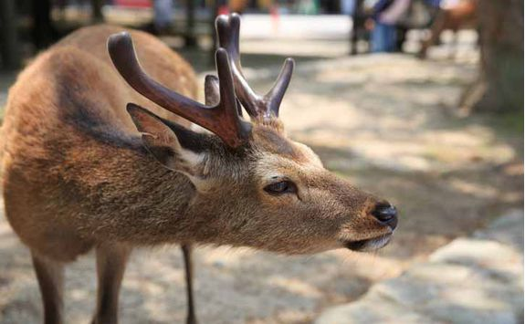 The deer of Miyajima