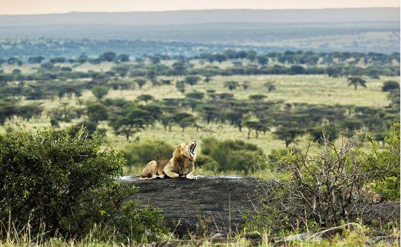 serengeti roaring lion