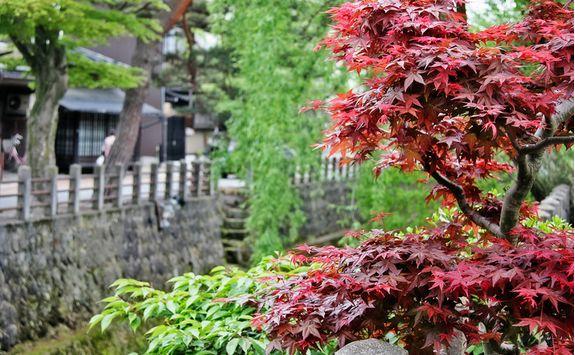 takayama shrub