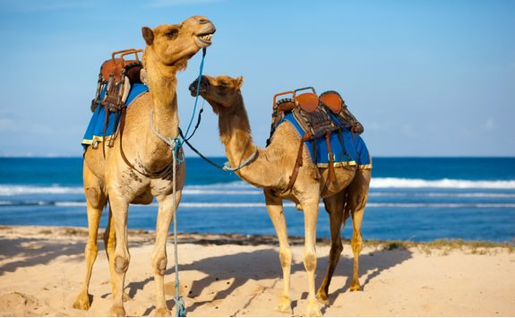 Camels at the Beach