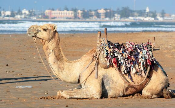 Camel on the beach in Essaouira
