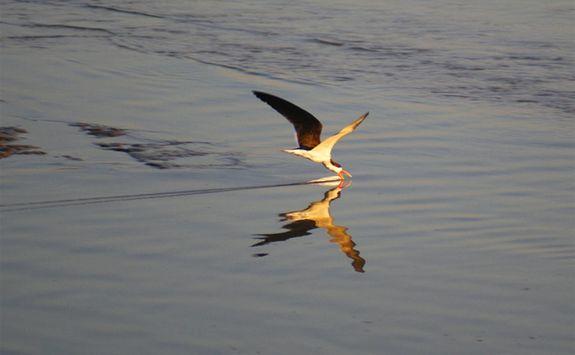 Bird skimming river