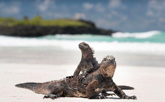 Iguanas on the beach