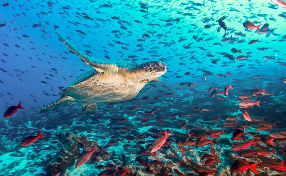 Turtle in the Galapagos