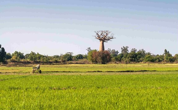 Baobab in rice field