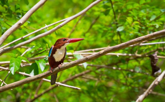 A kingfisher in Kao Sok