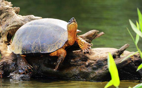 black turtle costa rica