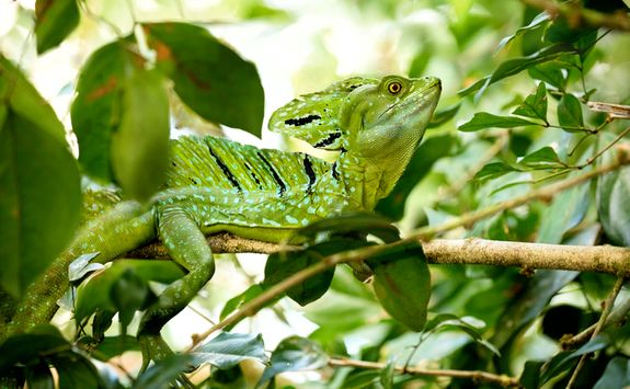 lizard in the rainforest