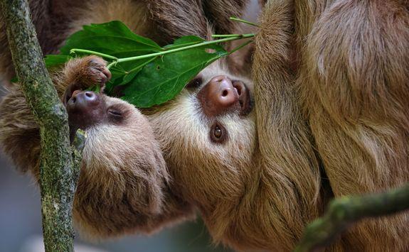 sloths conservation