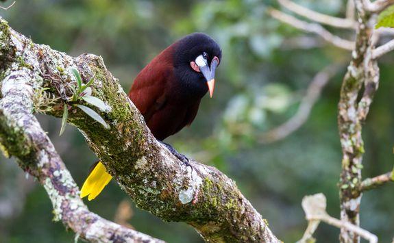 oropendola bird costa rica