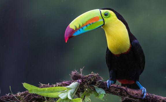 Keel Billed Toucan