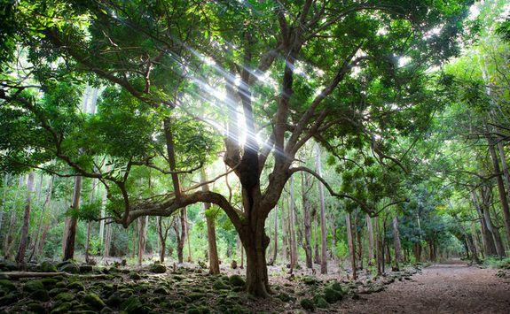 Mauritian woodlands