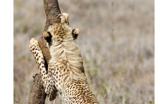Cheetah sharpening claws