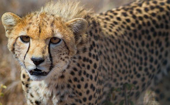 Close up of young cheetah