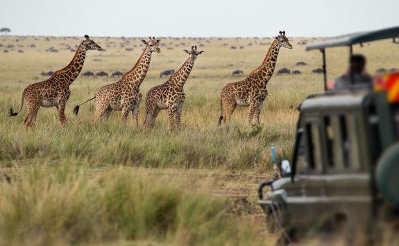 garne drive giraffes