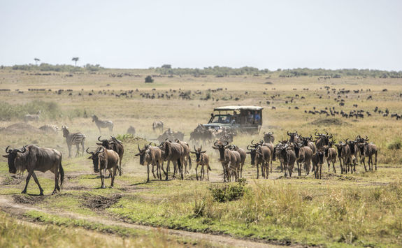 game drive wildebeests