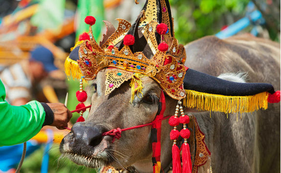 traditional balinese water buffalo race negara