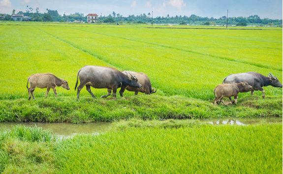 Buffalo herd in grass field